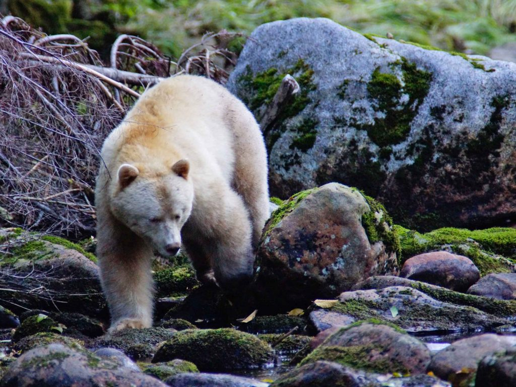 Spirit Bear, Great Bear Rainforest