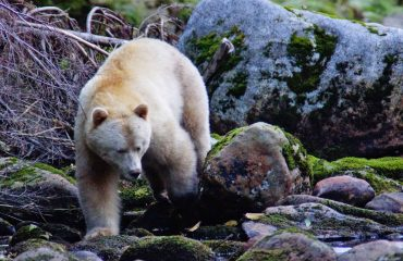 Spirit bear ©David Haggarty