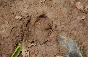Tapir spoor Yasuni ©All for Nature Travel