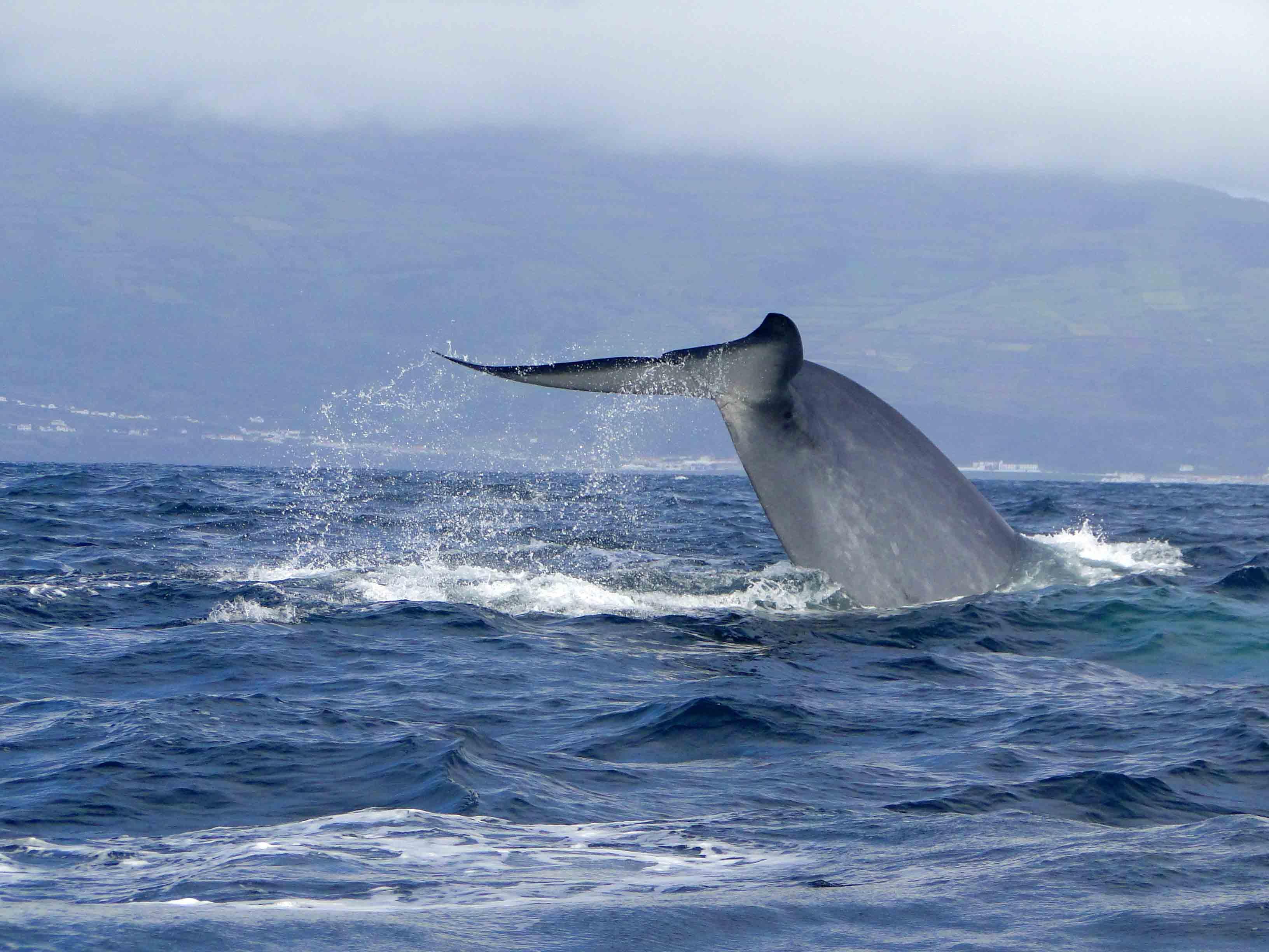 Vinvisstaart Azoren, walvis reis Azoren