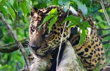 Jaguaronderzoek © Emiliano Ramalho