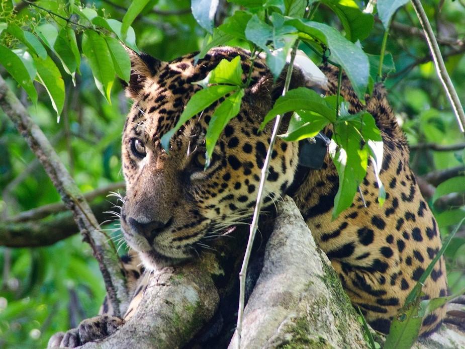 Uakari, jaguar reis, jaguar, amazone
