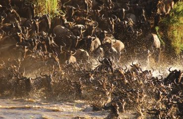 Wildebeest Crossing Mararivier