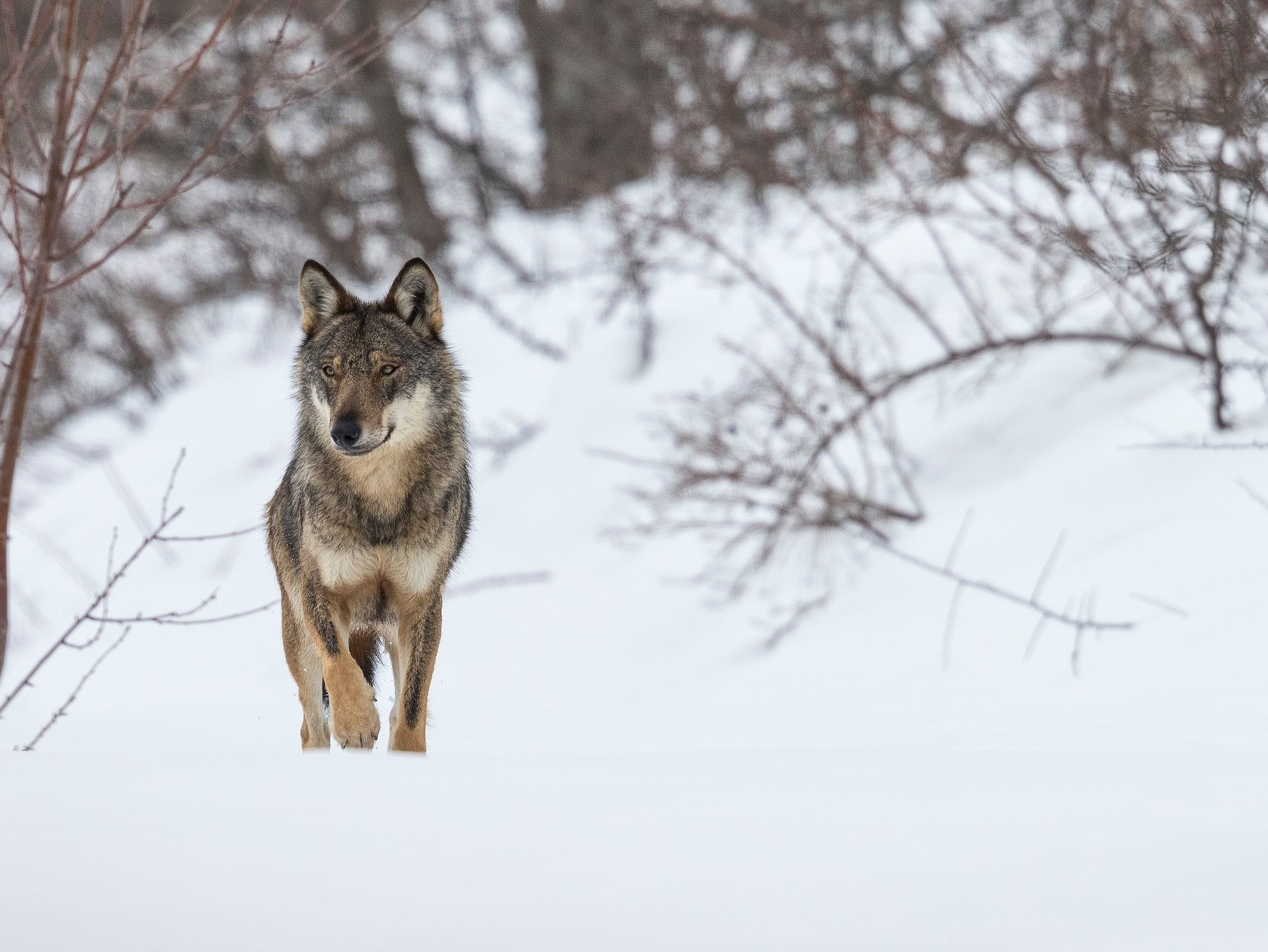 Winter Wolf © Bruno D'Amicis