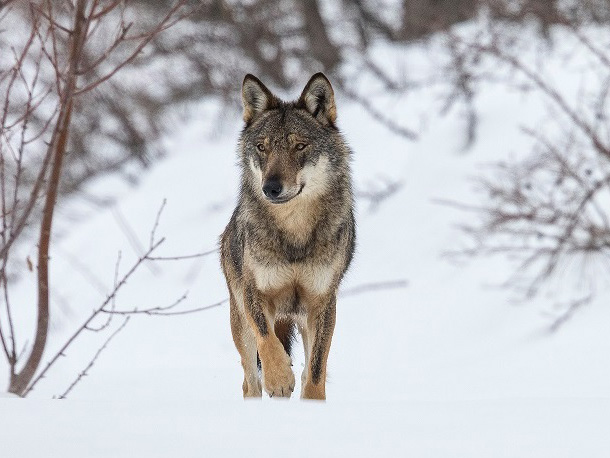 Winter Wolf © Bruno D'Amicis_edited-1