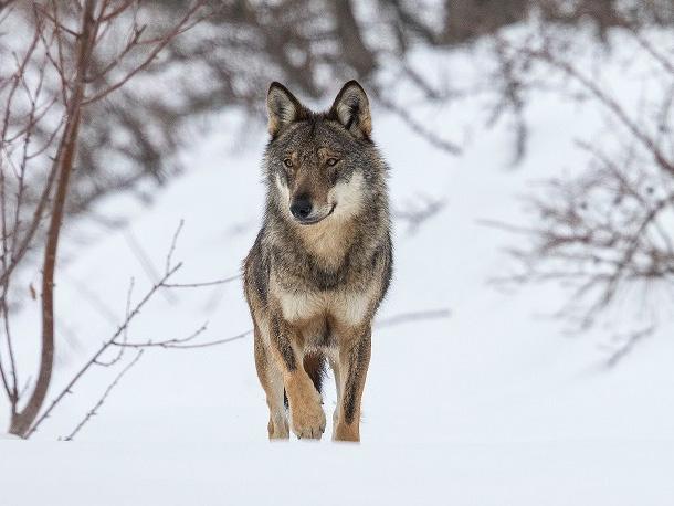 Winter Wolf © Bruno D'Amicis_edited-1