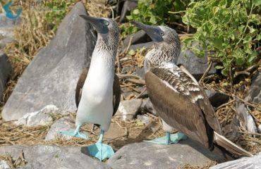 blauwvoetgent Galapagos