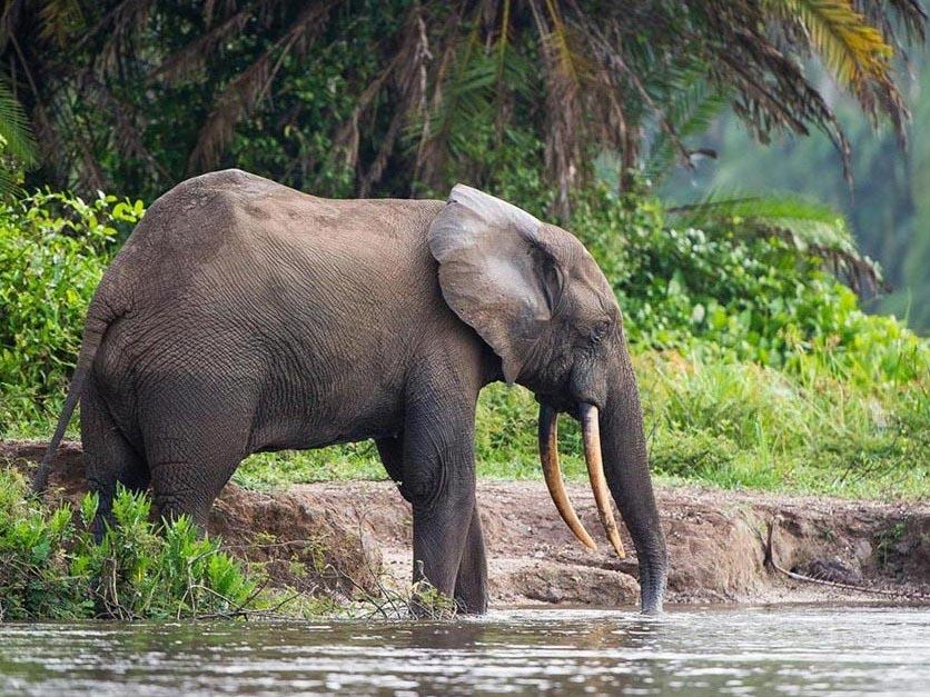 bosilifant Congo