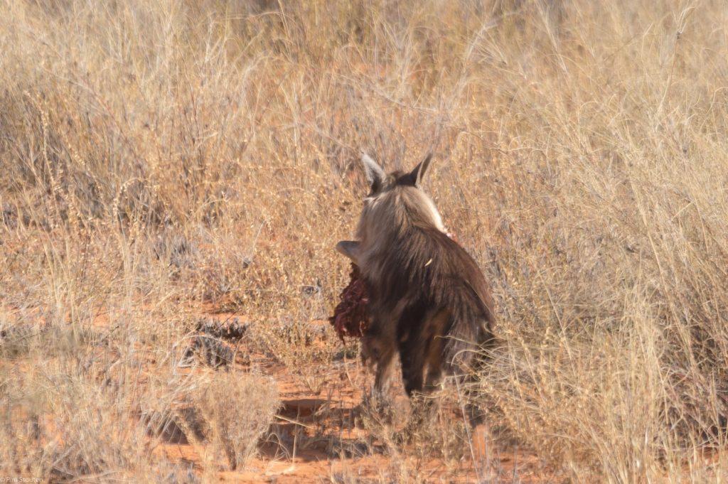 bruine hyena, kgalagadi NP
