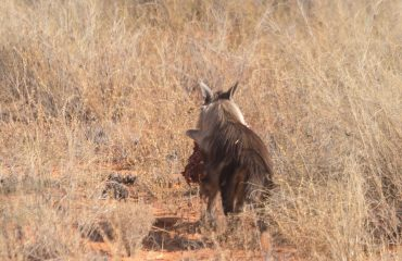 bruine hyena Kgalagadi met dank aan P.Stouten