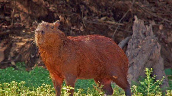 capibara Pantanal © All for Nature Travel