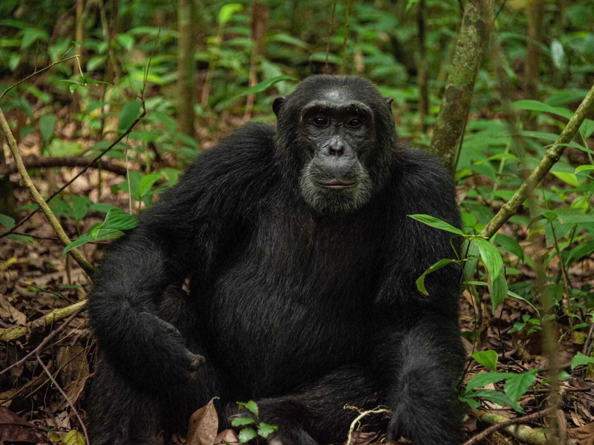 chimpansee Kibale Uganda