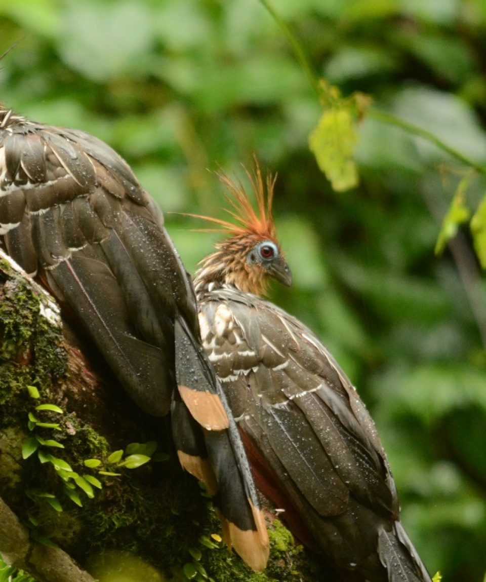 Hoatzin© All for Nature Travel