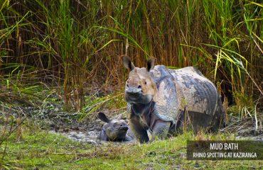 Indische neushoorn in Kaziranga