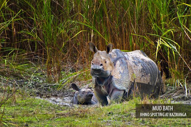 Indiase neushoorn, Indische neushoorn, Diphlu River lodge, Kaziranga, India