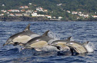 gewone dolfijn voor Pico