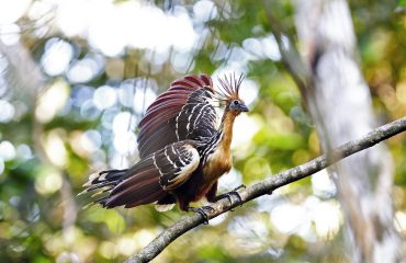 hoatzin Napo Wildlife Center