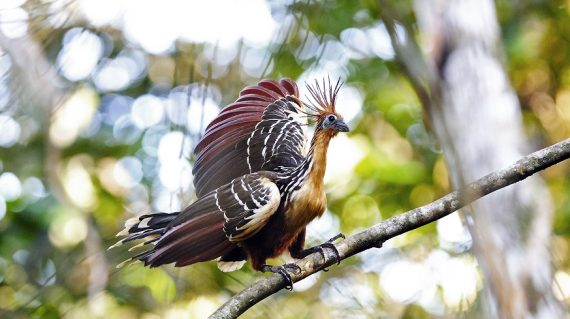 hoatzin Napo Wildlife Center