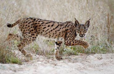 Iberische lynx jong © Marten van Dijl