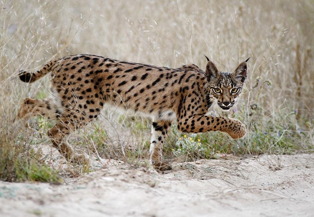 iberische lynx, cota donana, spanje