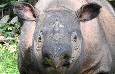 Sumatraanse neushoorn met dank aan mevr. Stoots
