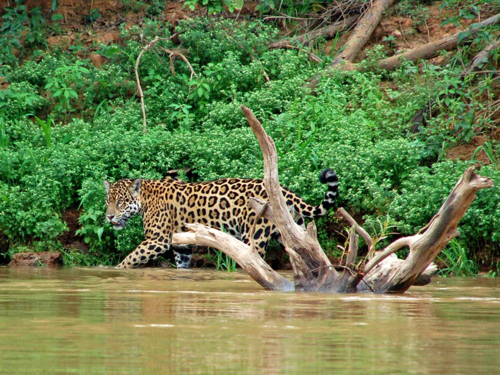 jaguar Pantanal, reis jaguar, reis Pantanal