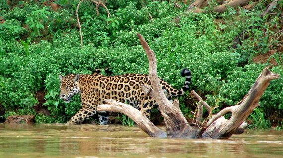 jaguar Pantanal © All for Nature
