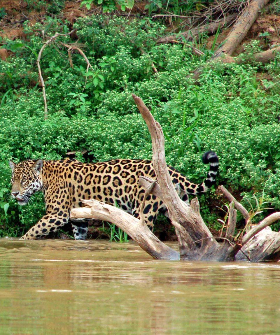 jaguar Pantanal © All for Nature