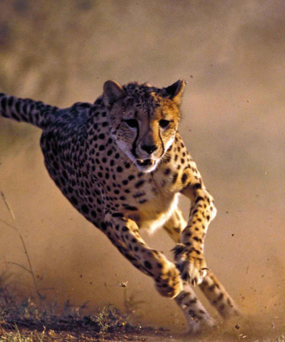 cheeta_©ccfnamibie