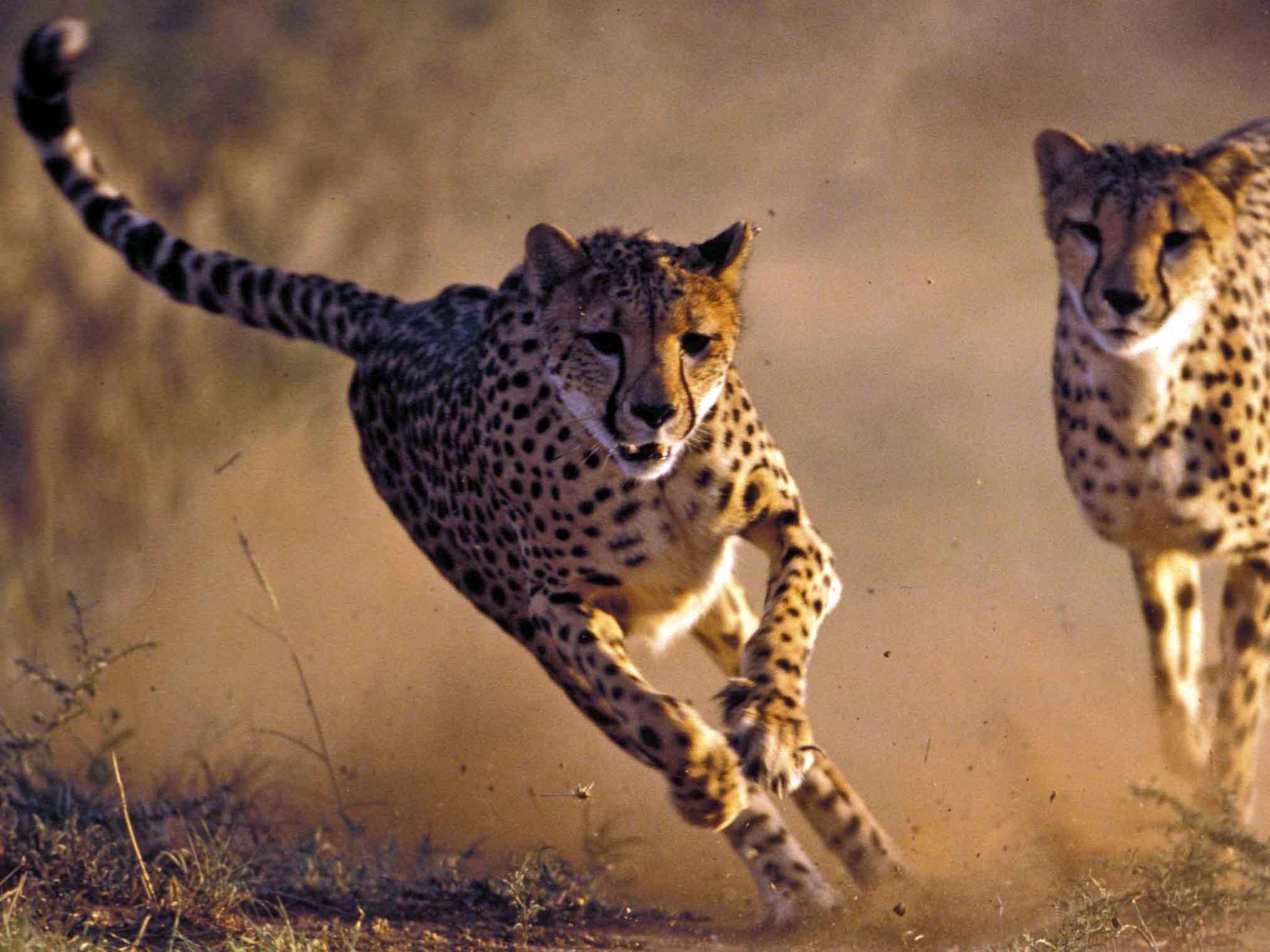 cheeta Namibië