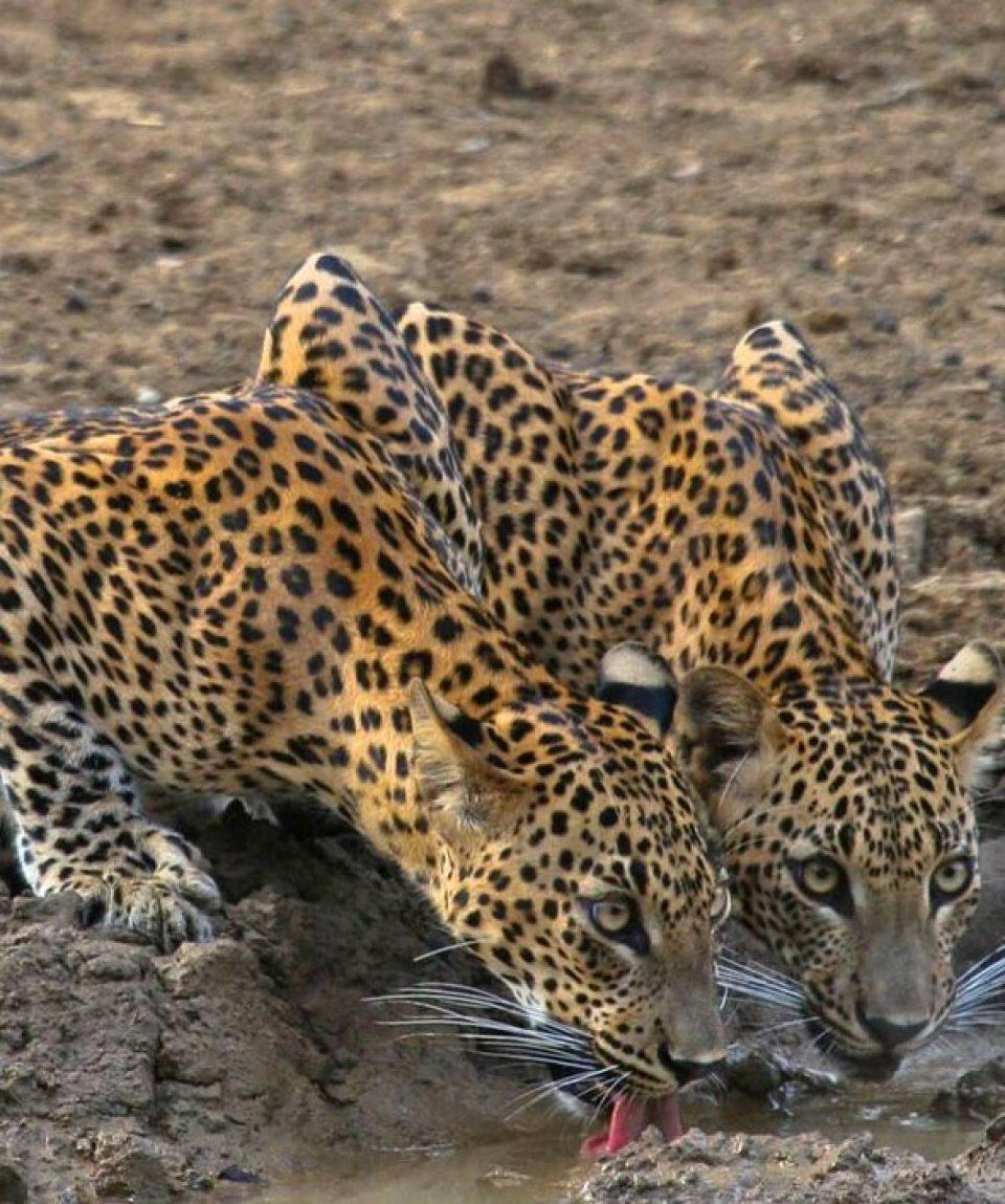 luipaard WiIlpattu