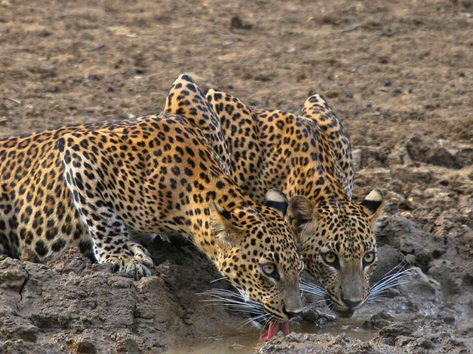 luipaard Sri Lanka, reis Sri Lanka