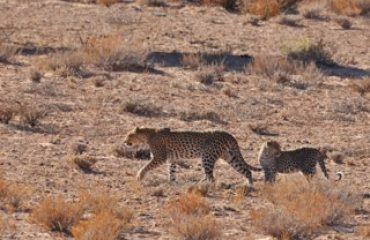 luipaard met jong Kgalagadi