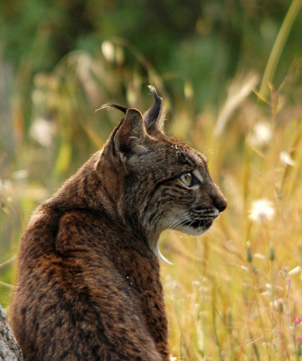 Iberische lynx ©All for Nature Travel