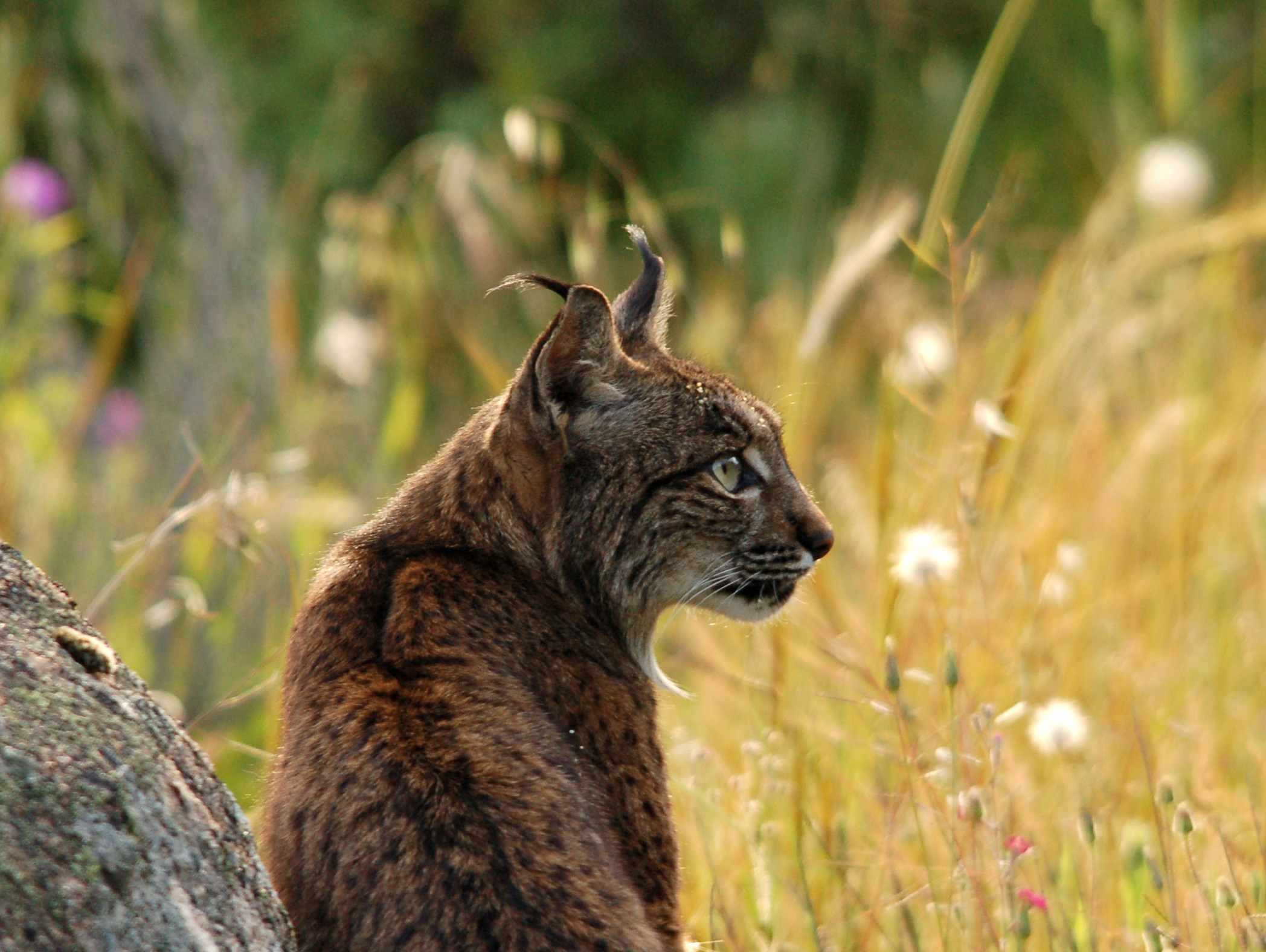 lynx Spanje, Iberische Lynx reis