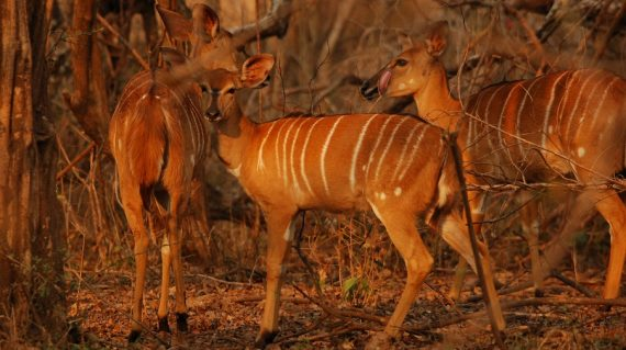 Nyala Majete NP © All for Nature Travel