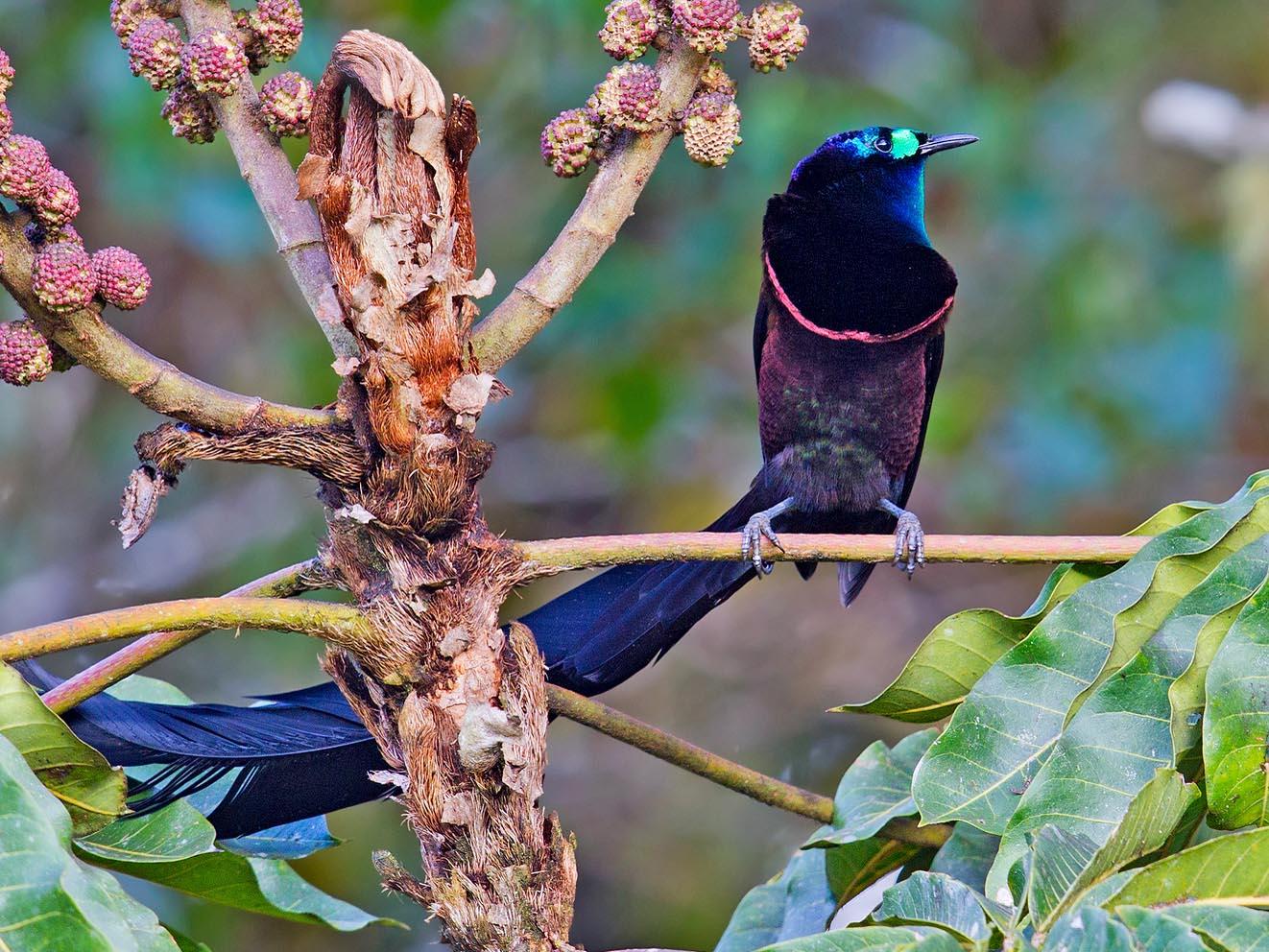 Riflebirds datovania