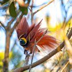 raggiana, paradijsvogel, papoea nieuw guina, png