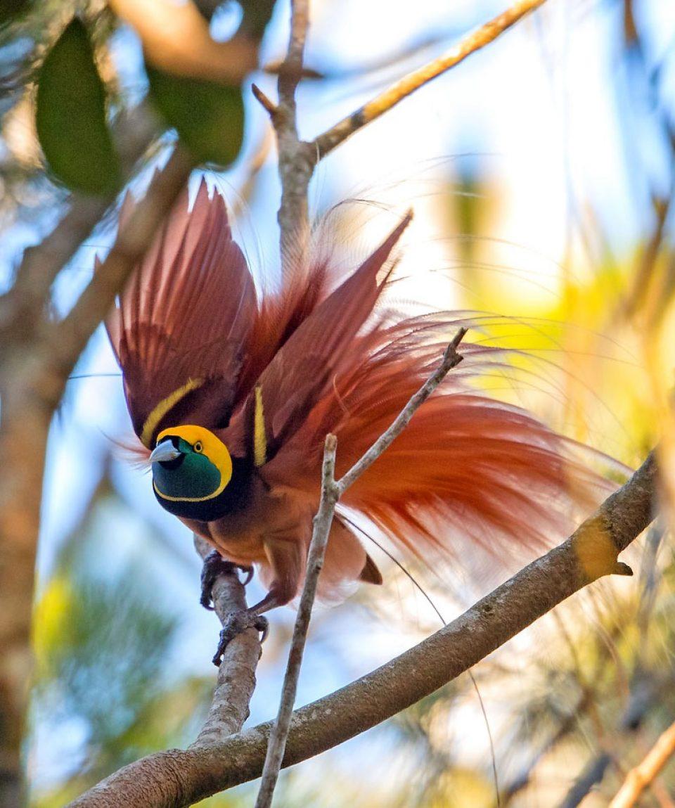 Raggiana paradijsvogel © barraimagine.com.au