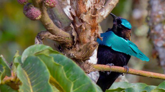 paradijsvogel Superb Bird-of-paradise © barraimagine.com.au