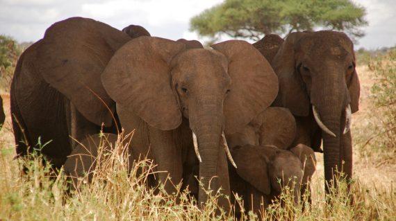 olifanten Tarangire NP ©All for Nature Travel