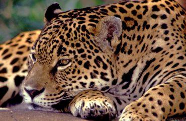 Jaguar © Haroldo Palo Jr