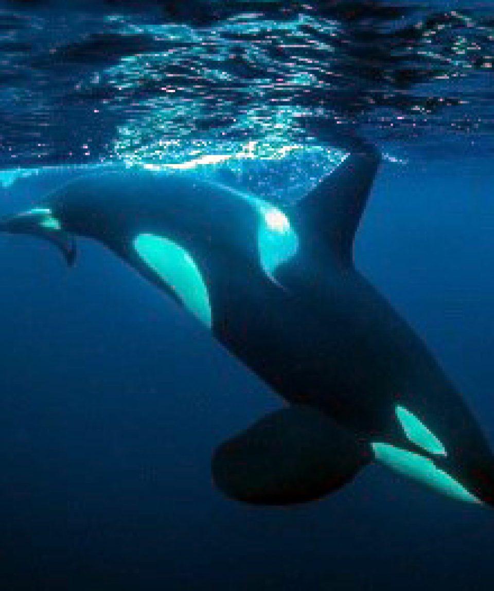 Snorkelen met orka's © Goran Ehlme