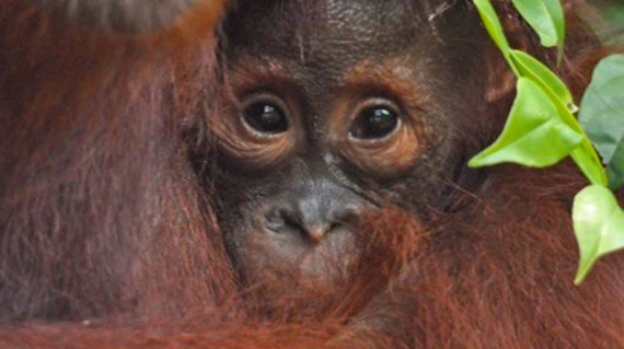 orang-oetan baby © All for Nature Travel