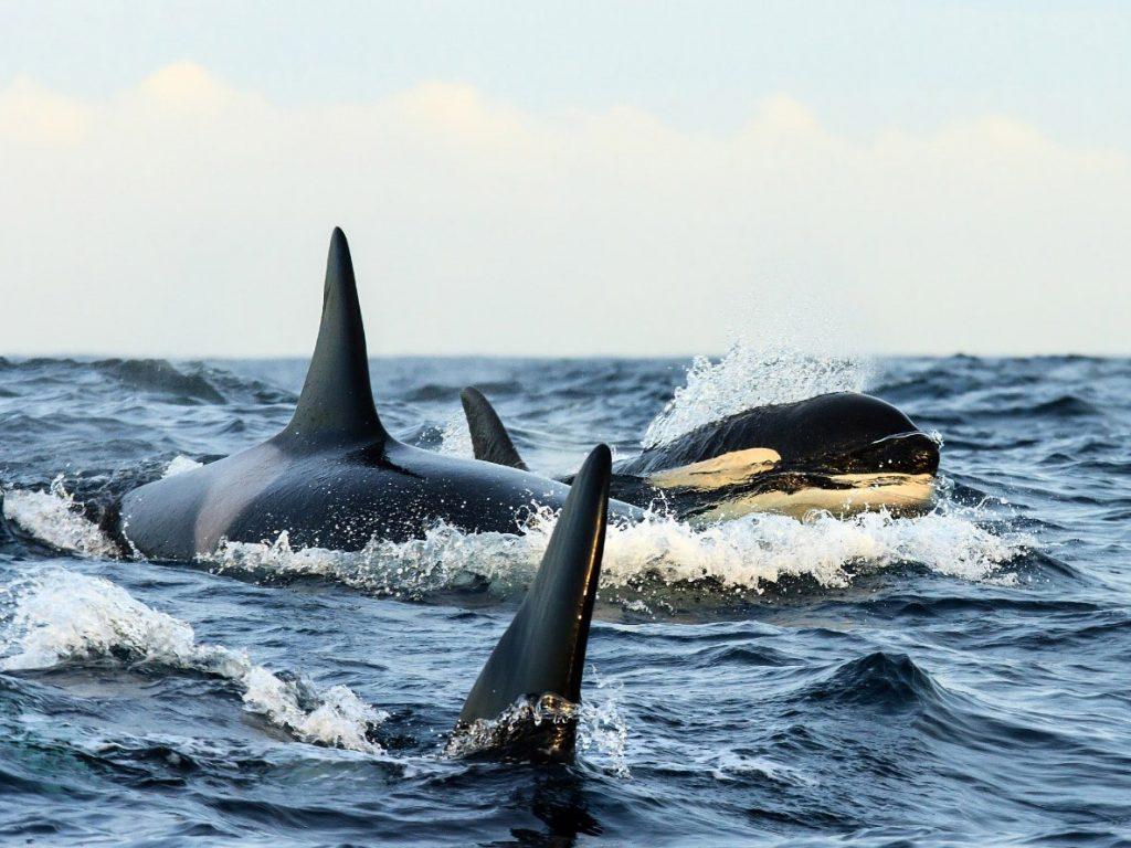 orka , noorwegen, haringtrek, orca, orcas