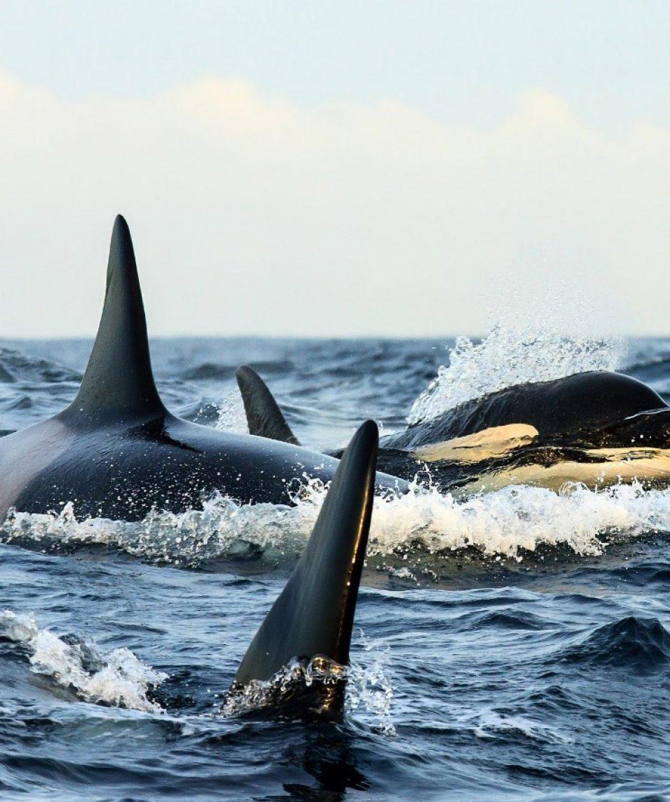 orka Noorwegen © Kenneth Petterson