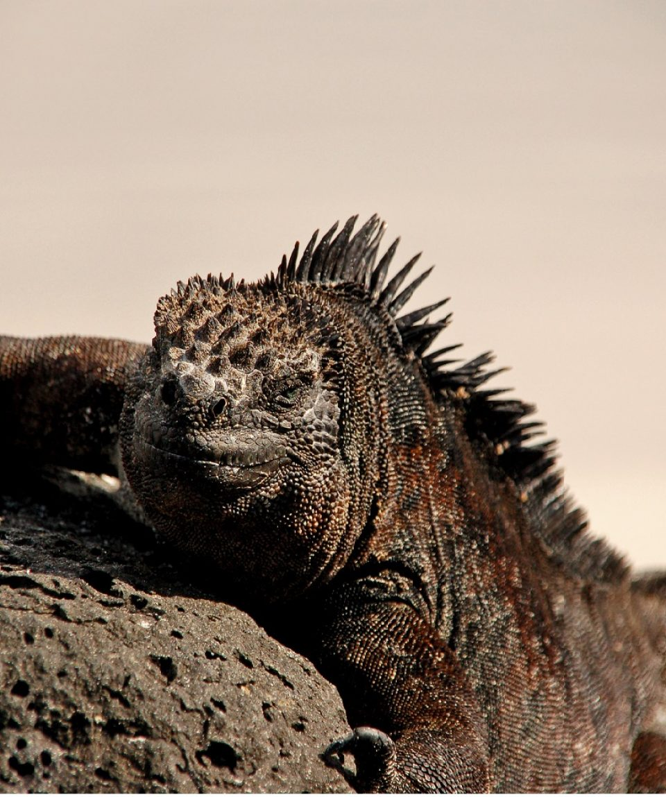 Marine Iguana Galapagos ©All for Nature Travel