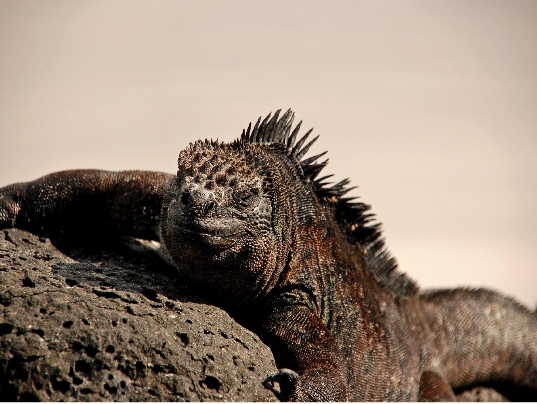 iguana, reis Galapagos