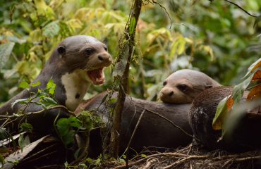 reuzenotters bij Napo Wildlife Center ©All for Nature Travel