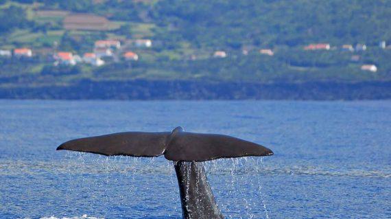 Staart potvis in fluke Pico met dank aan Talassa